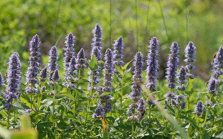 AllgäuStauden Blaunessel Agastache Rugosa-Hybride 'Blue Fortune'