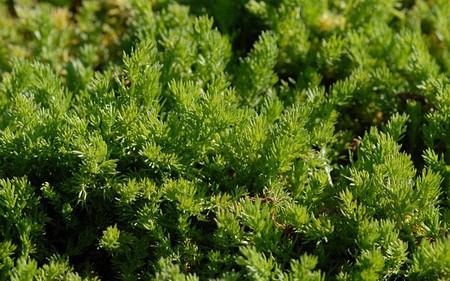 AllgäuStauden Blütenlose Teppichkamille Chamaemelum nobile 'Treneague'