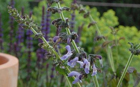 AllgäuStauden Chinesischer Salbei Salvia miltiorrhiza