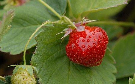 AllgäuStauden Dauertragende Erdbeere Fragaria x vescana 'Parfum® Fraisibelle®'