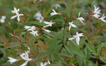 AllgäuStauden Dreiblattspiere Gillenia trifoliata