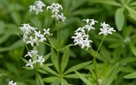 AllgäuStauden Echter Waldmeister Galium odoratum
