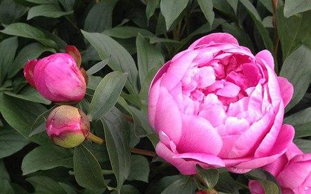 AllgäuStauden Edel-Pfingstrose Paeonia lactiflora 'Emma Klehm'