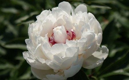 AllgäuStauden Edel-Pfingstrose Paeonia lactiflora 'Festiva Maxima'