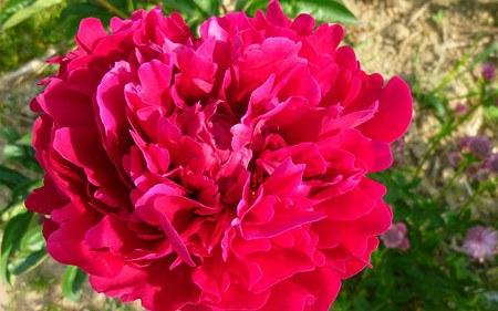 AllgäuStauden Edel-Pfingstrose Paeonia lactiflora 'Pfeiffer's Red Triumph'