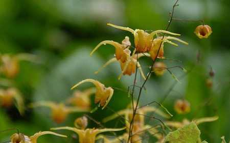 AllgäuStauden Elfenblume Epimedium Hybride 'Amber Queen' ®