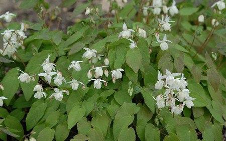 AllgäuStauden Elfenblume Epimedium x youngianum 'Niveum'