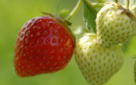AllgäuStauden Erdbeere Fragaria x ananassa 'Sonata' ®