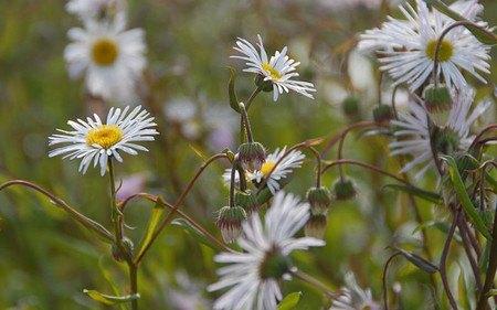 AllgäuStauden Feinstrahlaster Erigeron Speciosus-Hybride 'Sommerneuschnee'