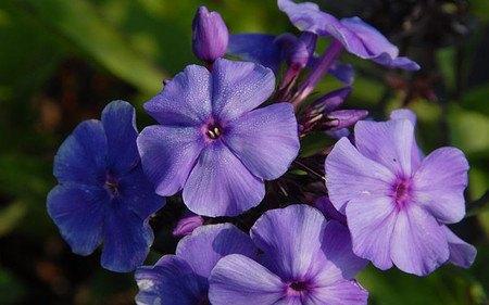 AllgäuStauden Flammenblume Phlox paniculata 'Blue Paradise'