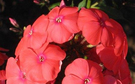 AllgäuStauden Flammenblume Phlox paniculata 'Freudenfeuer'