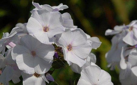 AllgäuStauden Flammenblume Phlox paniculata 'Schneerausch'