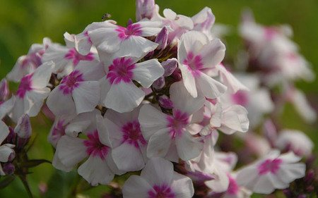 AllgäuStauden Flammenblume Phlox x arendsii 'Eye Catcher'