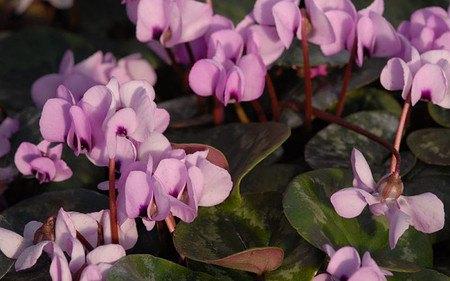 AllgäuStauden Frühlings-Alpenveilchen Cyclamen coum