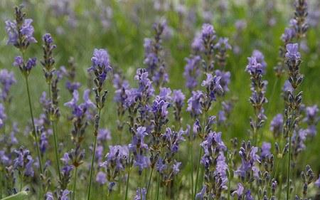AllgäuStauden Garten-Lavendel Lavandula angustifolia 'Dwarf Blue'