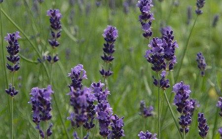 AllgäuStauden Garten-Lavendel Lavandula angustifolia 'Imperial Gem'