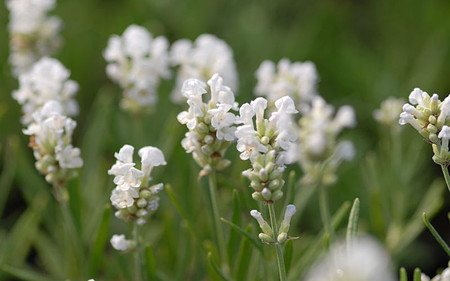 AllgäuStauden Garten-Lavendel Lavandula angustifolia 'Nana Alba'