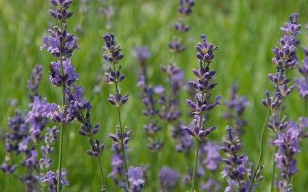 AllgäuStauden Garten-Lavendel Lavandula angustifolia 'Siesta'