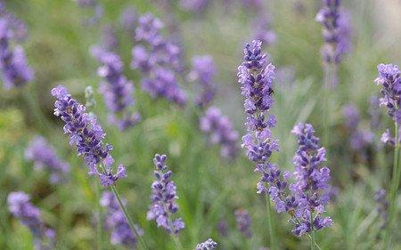 AllgäuStauden Garten-Lavendel Lavandula angustifolia 'Silver Blue'