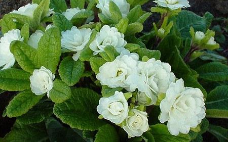 AllgäuStauden Garten-Primel Primula Vulgaris-Hybride 'Dawn Ansell'