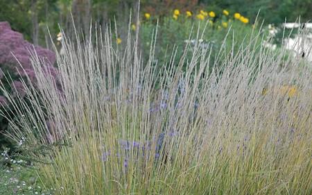 AllgäuStauden Garten-Reitgras Calamagrostis x acutiflora 'Waldenbuch'