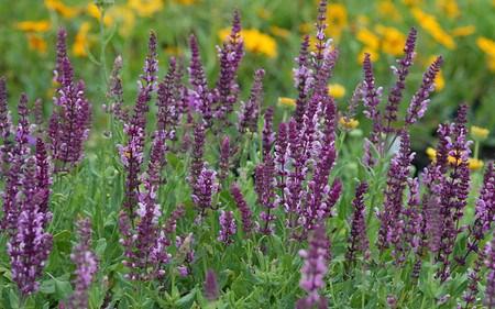 AllgäuStauden Garten-Salbei Salvia nemorosa 'Rosenwein'