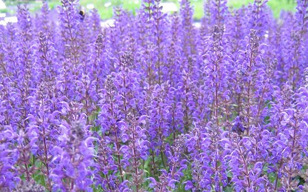 AllgäuStauden Garten-Salbei Salvia nemorosa 'Viola Klose'