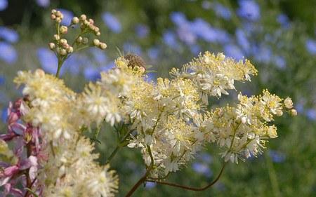 AllgäuStauden Gefüllte Knollen-Spierstaude Filipendula vulgaris 'Plena'