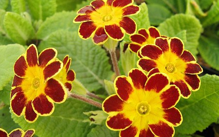 AllgäuStauden Gesäumte Primel Primula Elatior-Hybr. 'Victoriana Gold Lace Red'