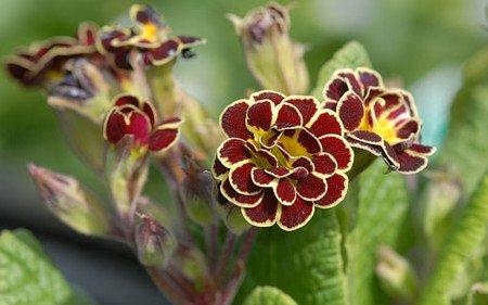AllgäuStauden Gesäumte Primel Primula Hybride 'Elizabeth Killelay'