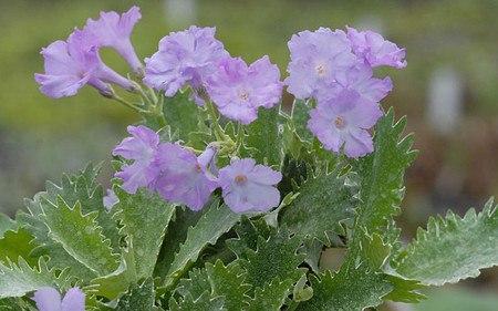 AllgäuStauden Gewelltrandige Primel Primula marginata 'Crenata'