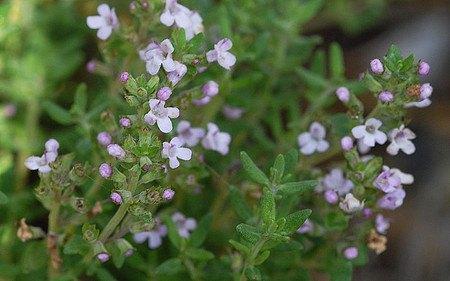 AllgäuStauden Gewürz-Thymian Thymus vulgaris