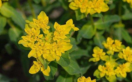 AllgäuStauden Gold-Wolfsmilch Euphorbia polychroma