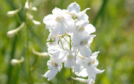 AllgäuStauden Halbhoher Rittersporn Delphinium Belladonna-Hybride 'Moerheimii'