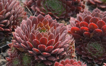 AllgäuStauden Hauswurz Sempervivum Hybride 'Pacific Red Tide'