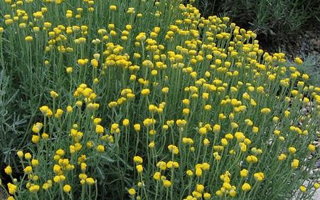 AllgäuStauden Heiligenkraut Santolina chamaecyparissus