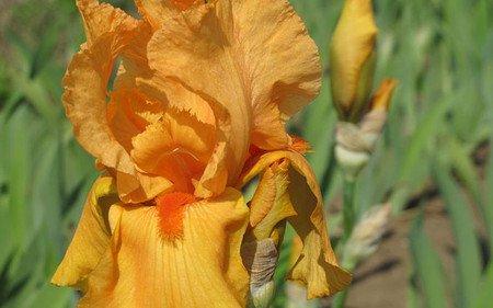 AllgäuStauden Hohe Bart-Iris Iris barbata-elatior 'Feu du Ciel'