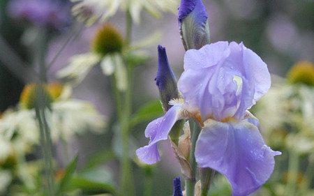 AllgäuStauden Hohe Bart-Iris Iris barbata-elatior 'Lovely Again'