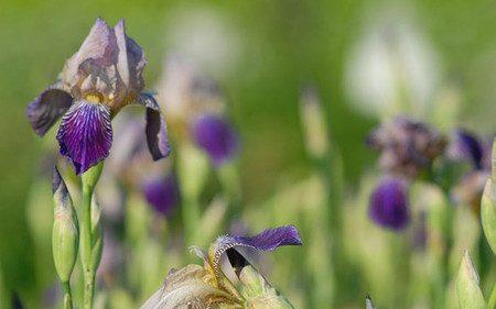AllgäuStauden Holunder-Schwertlilie Iris sambucina