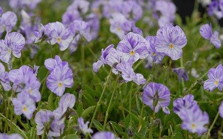 AllgäuStauden Horn-Veilchen Viola cornuta 'Columbine'