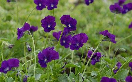 AllgäuStauden Horn-Veilchen Viola cornuta 'Roem van Aalsmeer'