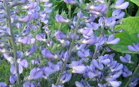 AllgäuStauden Indigolupine Baptisia australis