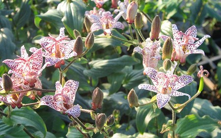AllgäuStauden Japanische Krötenlilie Tricyrtis hirta