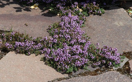 AllgäuStauden Kümmel-Thymian Thymus herba-barona