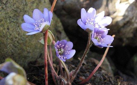 AllgäuStauden Leberblümchen Hepatica nobilis