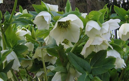 AllgäuStauden Lenzrose Helleborus Orientalis-Hybride 'Gemischte Farben'