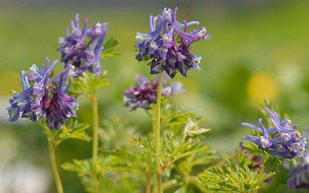AllgäuStauden Lerchensporn Corydalis Hybride 'Korn's Purple'