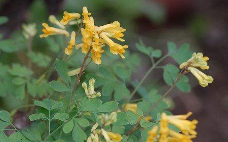AllgäuStauden Lerchensporn Corydalis lutea