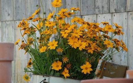 AllgäuStauden Mädchenauge Coreopsis grandiflora 'Christchurch'