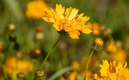 AllgäuStauden Mädchenauge Coreopsis grandiflora 'Early Sunrise'